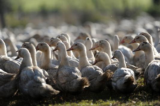 Grippe aviaire: tous les canards des Landes vont êtreabattus
